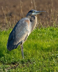 Blue Heron in rice field in ca, oscar friend