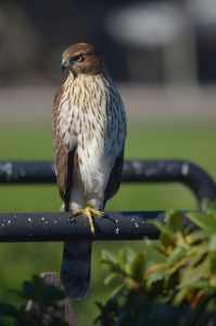 Coopers Hawk Eugene