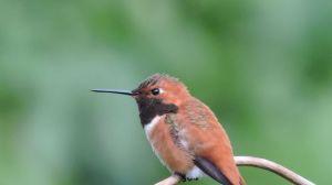 hummingbird eugene