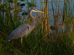 Heron from Oscar's friend in CA