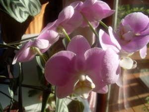 Dide's orchids