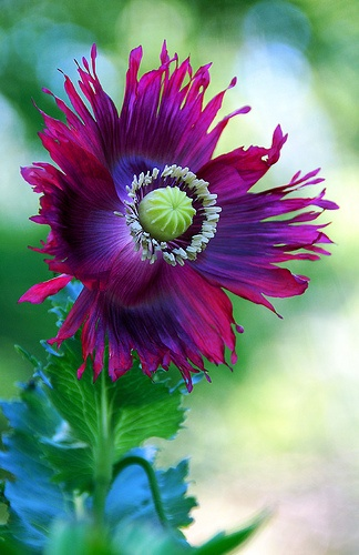 poppy (1)