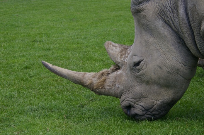 Rhino from pixabay