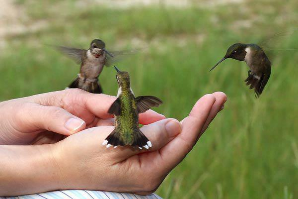 hummingbirds in hand