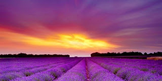 purple_heather_for_prince2b252812529