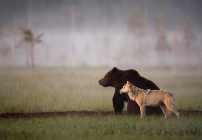 Wolf and Bear friendship